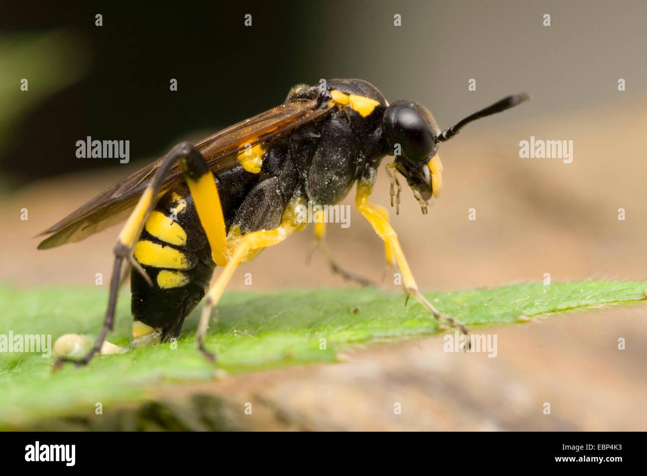 Blattwespen (Macrophya Montana), Eiablage, Deutschland Stockbild