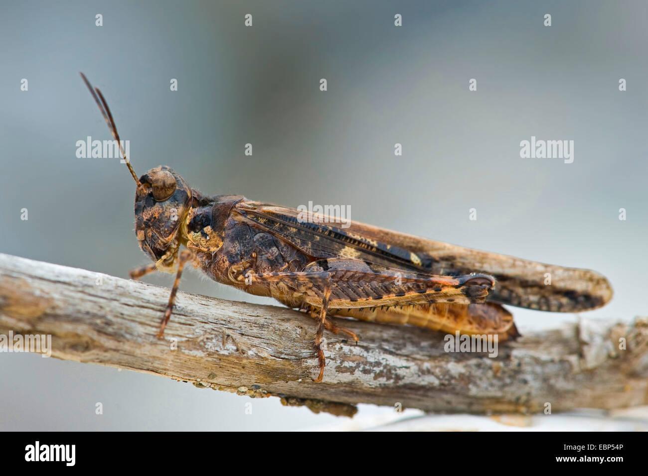Schlanke Red-winged Grasshopper, Band geflügelte Heuschrecke (Acrotylus Patruelis), auf einem Ast Stockbild