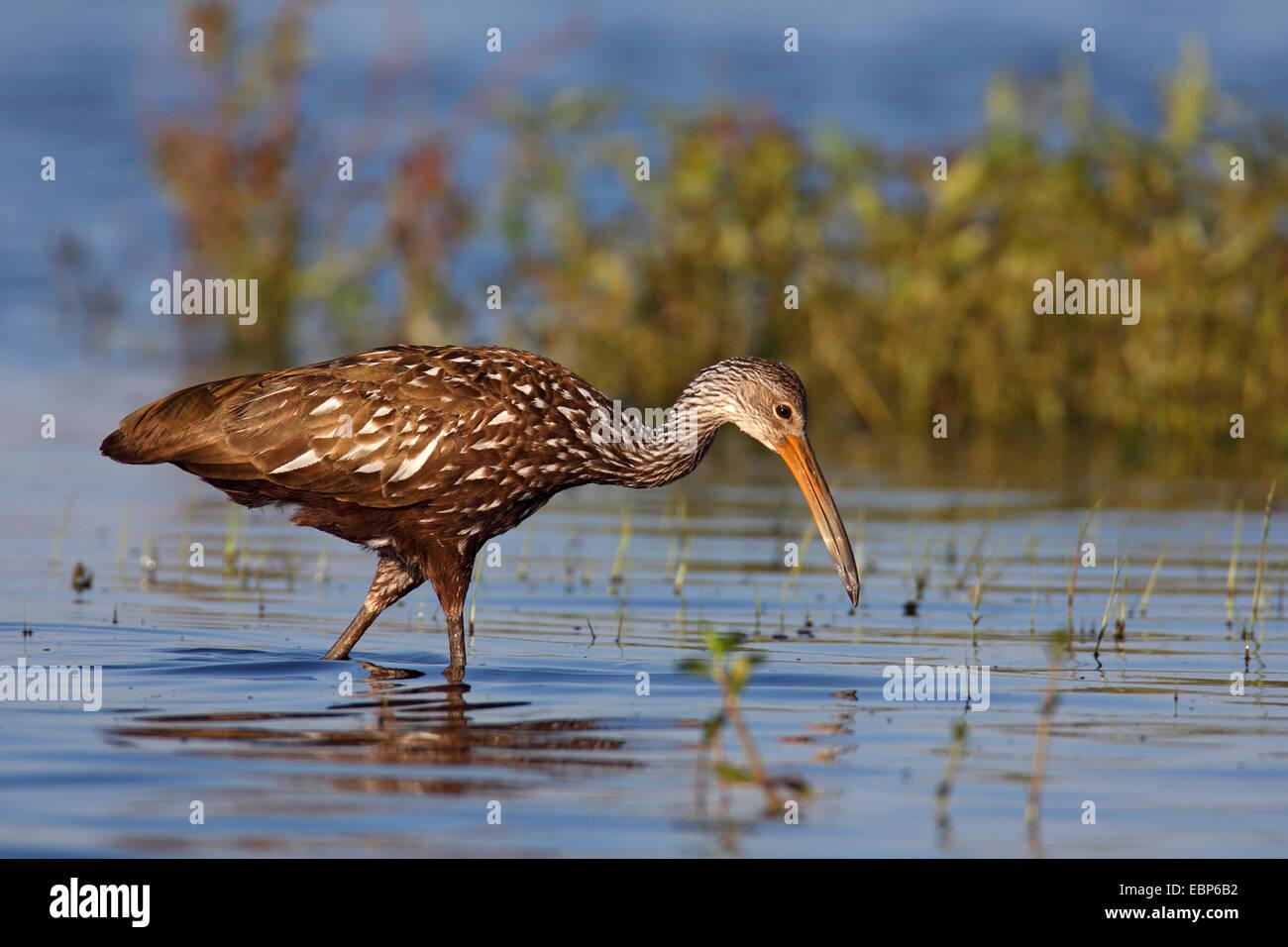 Limpkin (Aramus Guarauna), waten durch Wasser, während auf den Feed, USA, Florida, Myakka River State Park Stockfoto