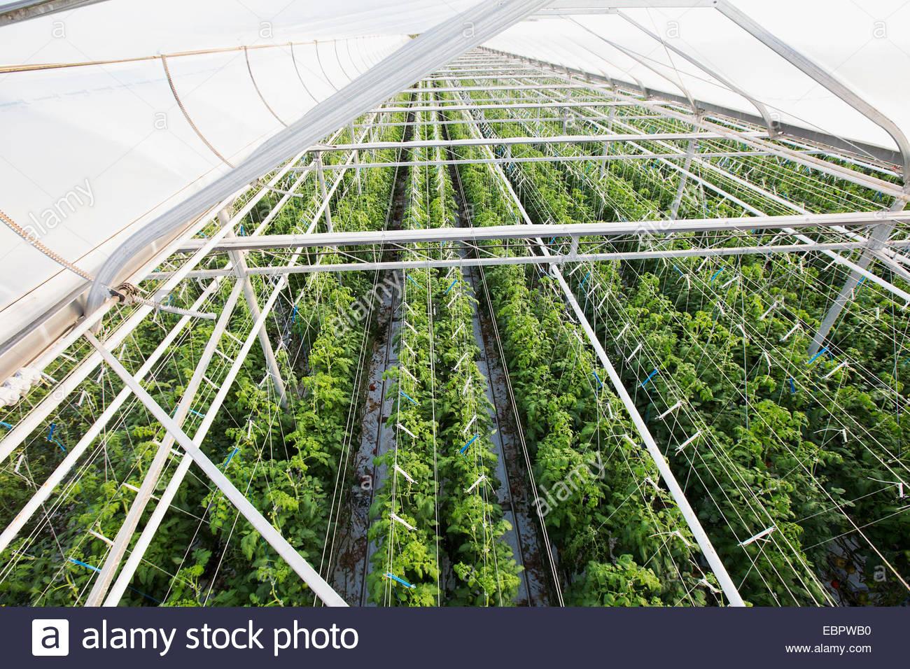 Pflanzen wachsen in einer Zeile im Gewächshaus Stockbild
