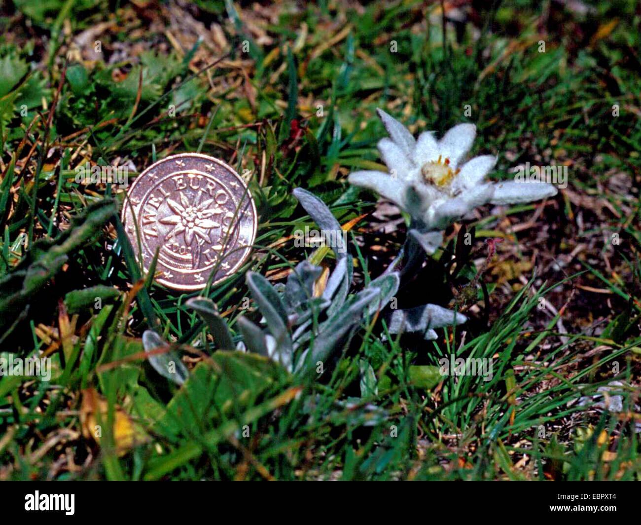 Edelweiß Leontopodium Alpinum Leontopodium Nivale Blühen Neben