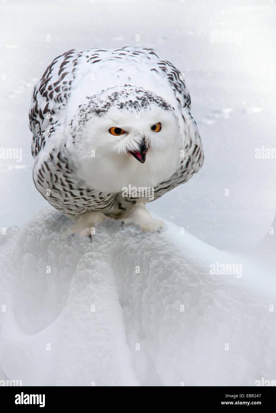 Schnee-Eule (Strix Scandiaca, Nyctea Scandiaca, Bubo Scandiacus), sitzt im Schnee Stockbild