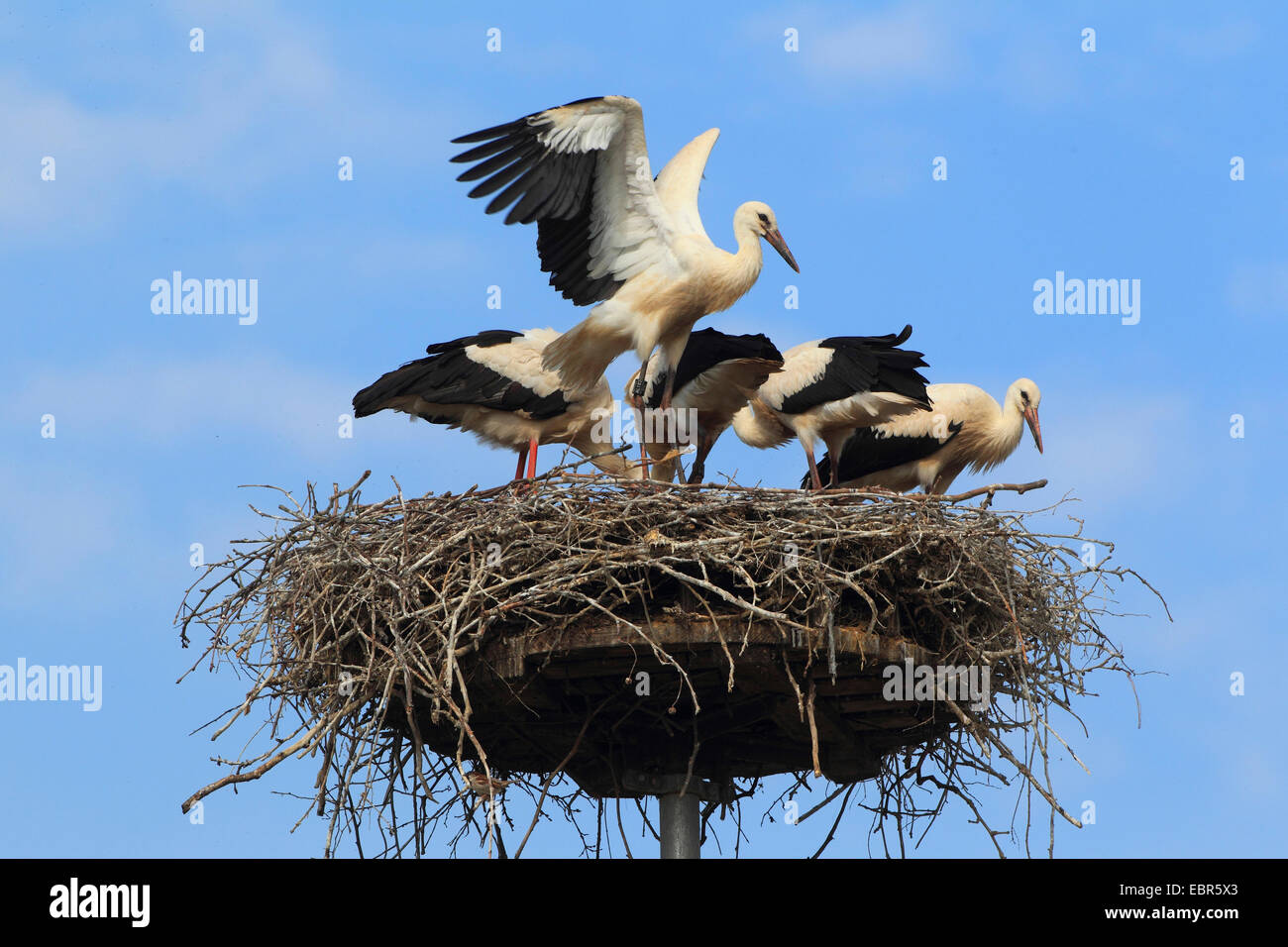 Weißstorch (Ciconia Ciconia), vier Jungvögel im Nest, Deutschland Stockbild