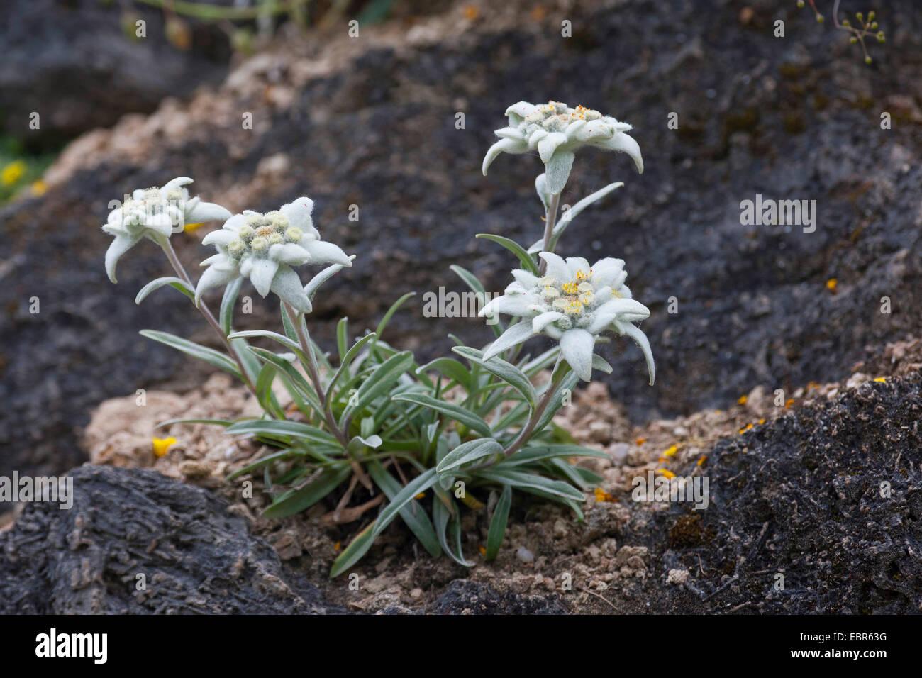 edelwei leontopodium alpinum leontopodium nivale. Black Bedroom Furniture Sets. Home Design Ideas