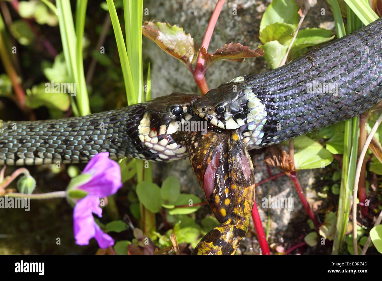 Ringelnatter (Natrix Natrix), Bilder Serie 7, zwei Schlangen kämpfen für einen Frosch, Deutschland, Mecklenburg Stockbild