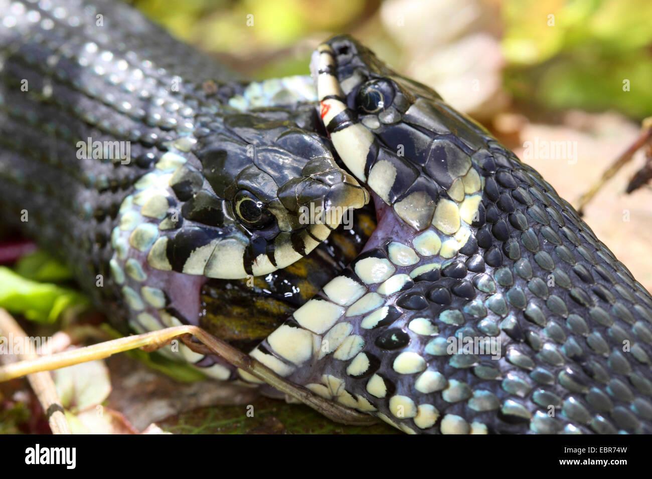 Ringelnatter (Natrix Natrix), Serie Bild 17, zwei Schlangen kämpfen für einen Frosch, Deutschland, Mecklenburg Stockbild