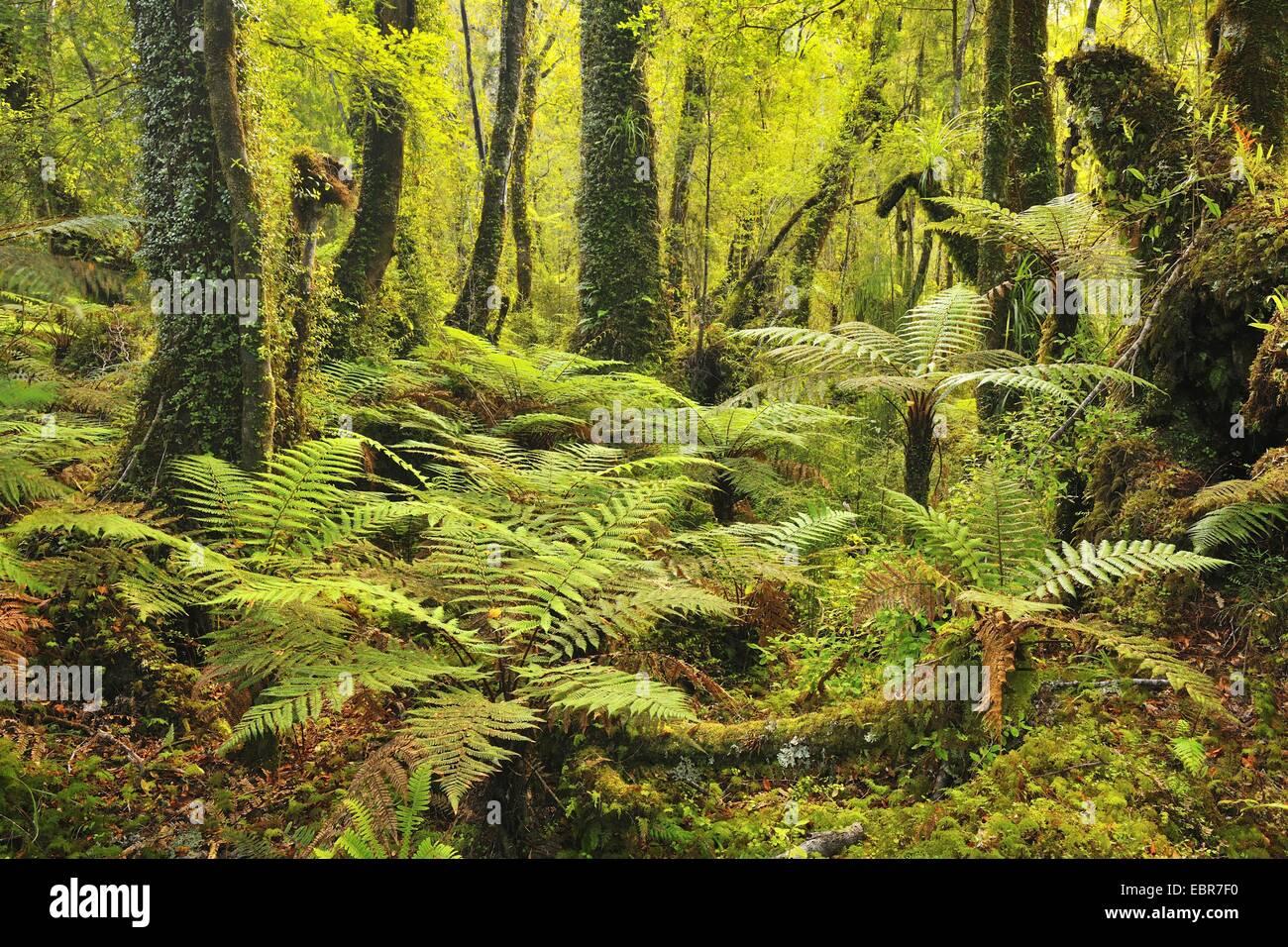 Gemäßigten Regenwaldes mit Baumfarnen, Neuseeland, West Coast, Haast Stockbild