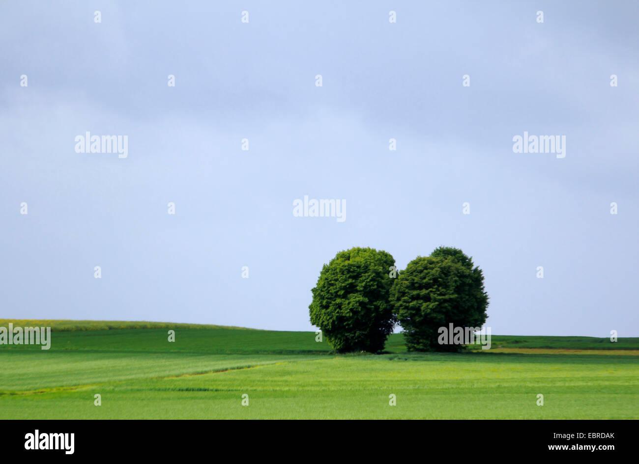 grünen Kornfeld mit Bäumen, Deutschland, Rheinland-Pfalz, Eifel Stockbild