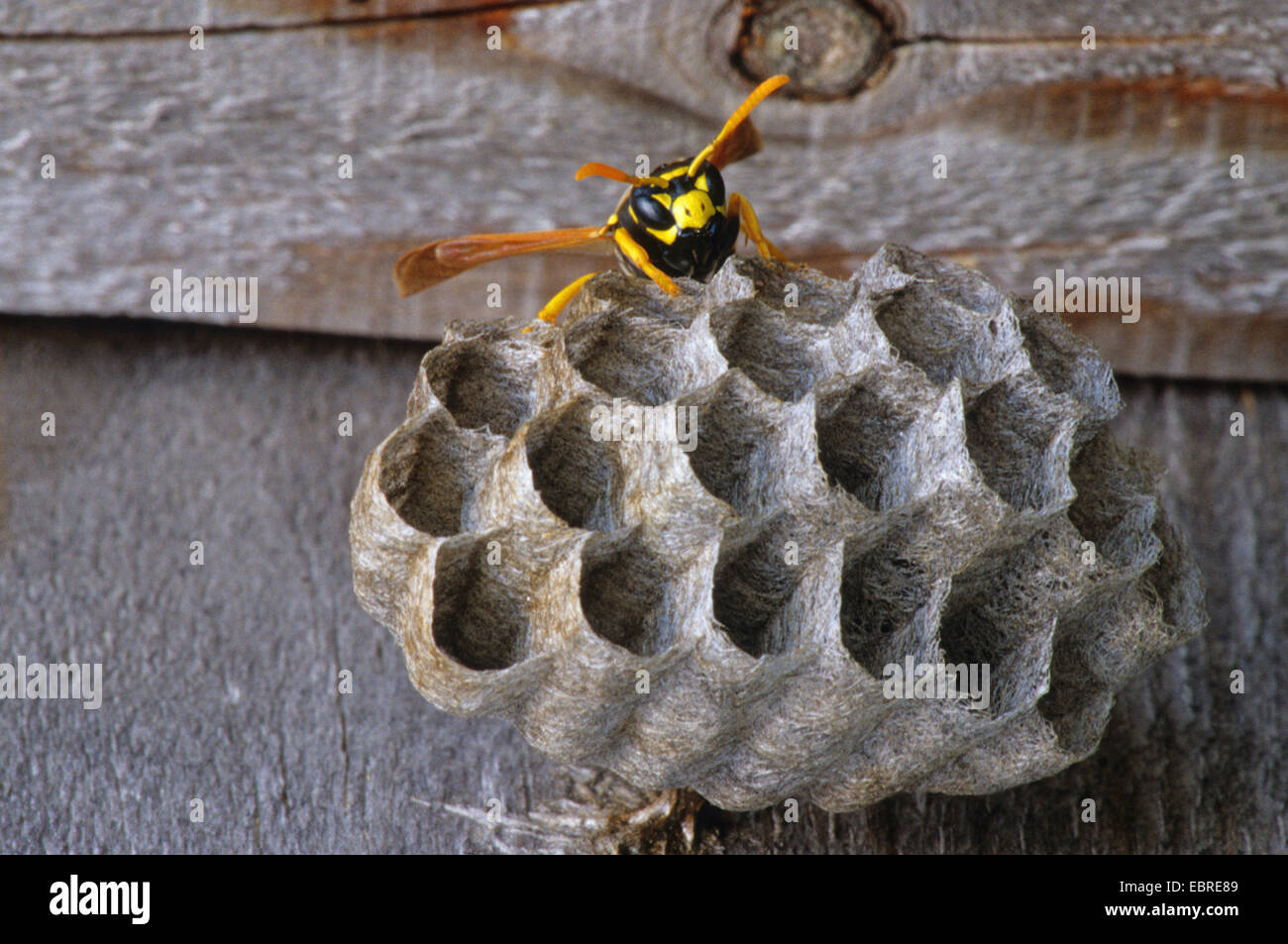 wasp nest with wasp stockfotos wasp nest with wasp. Black Bedroom Furniture Sets. Home Design Ideas