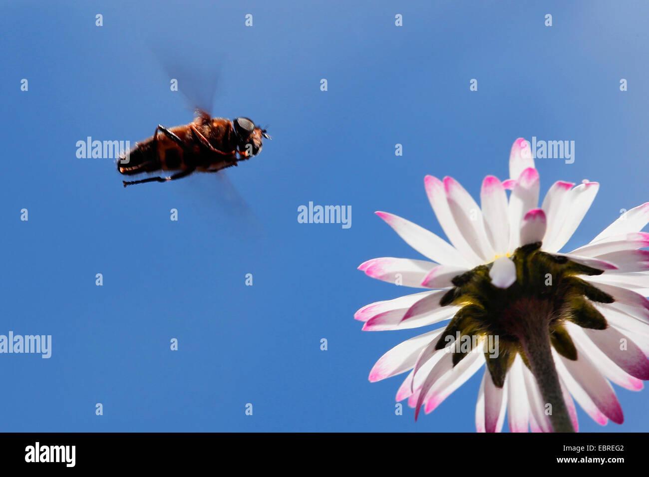 Schwebfliegen, Schwebfliegen, Syrphid fliegt, Blume fliegen (Syrphidae), nähert sich ein Gänseblümchen, Stockbild