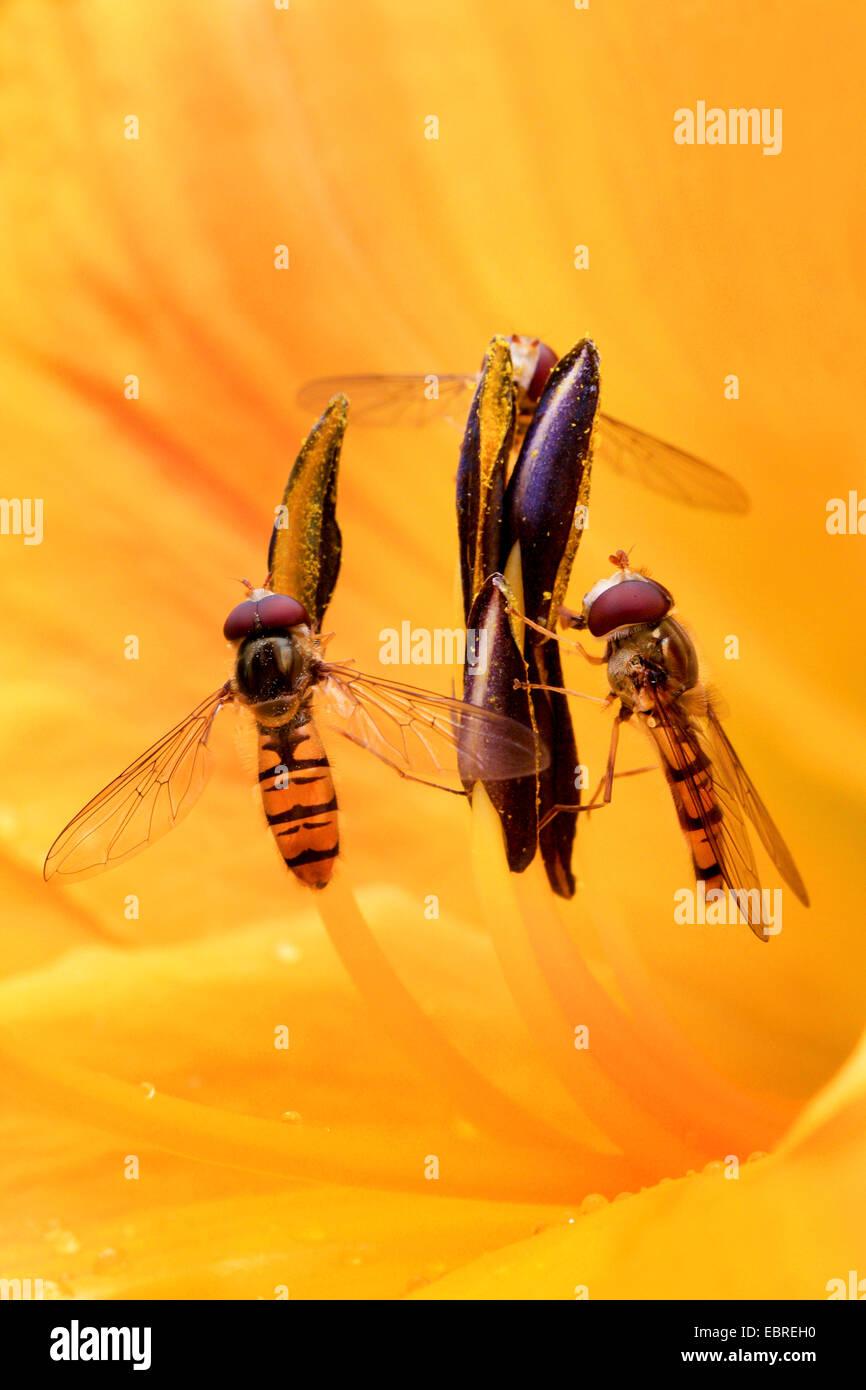 Marmelade Hoverfly (Episyrphus Balteatus), zwei Schwebfliegen in einer Lilie Blume, Deutschland Stockbild