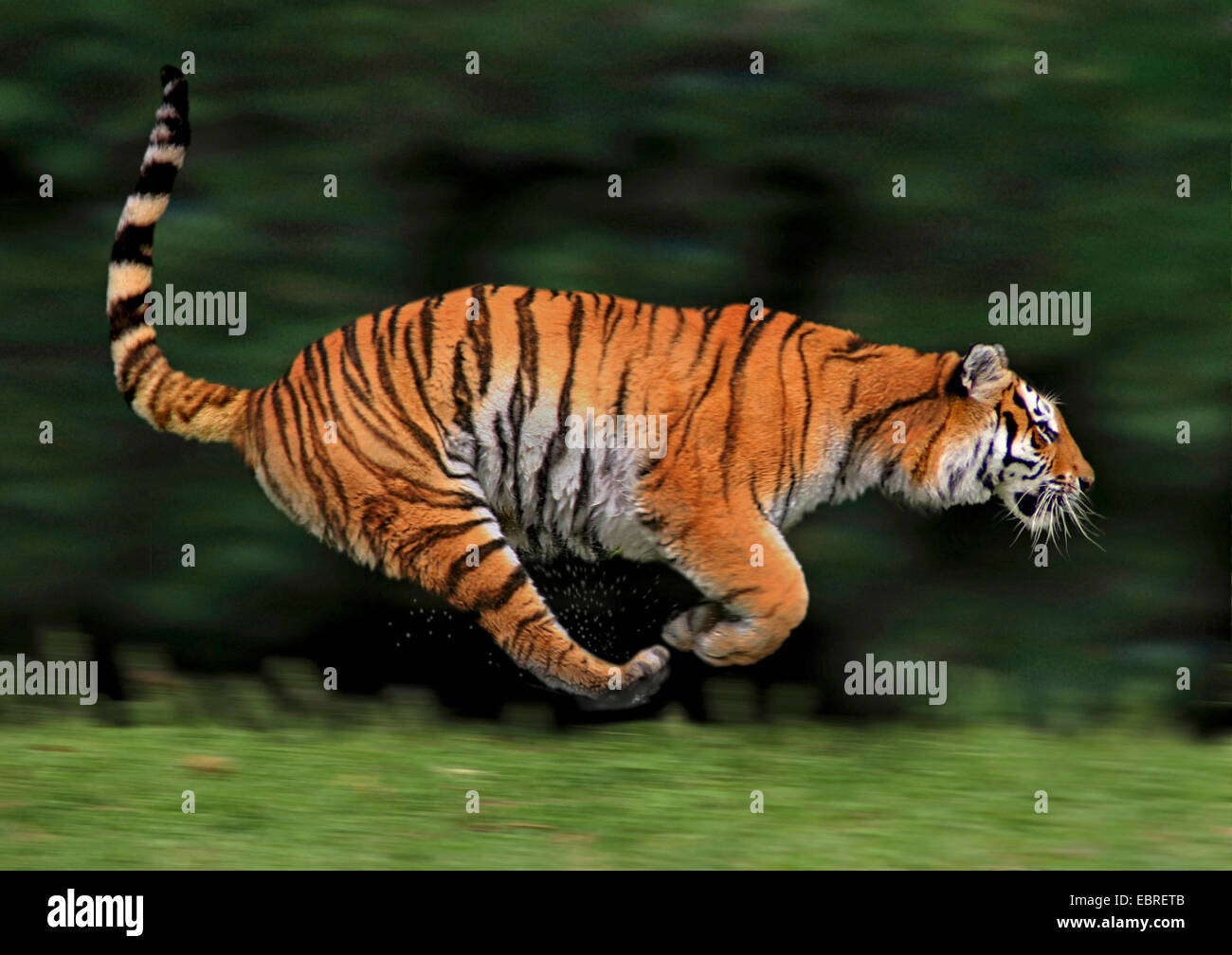 tiger stockfotos tiger bilder alamy. Black Bedroom Furniture Sets. Home Design Ideas