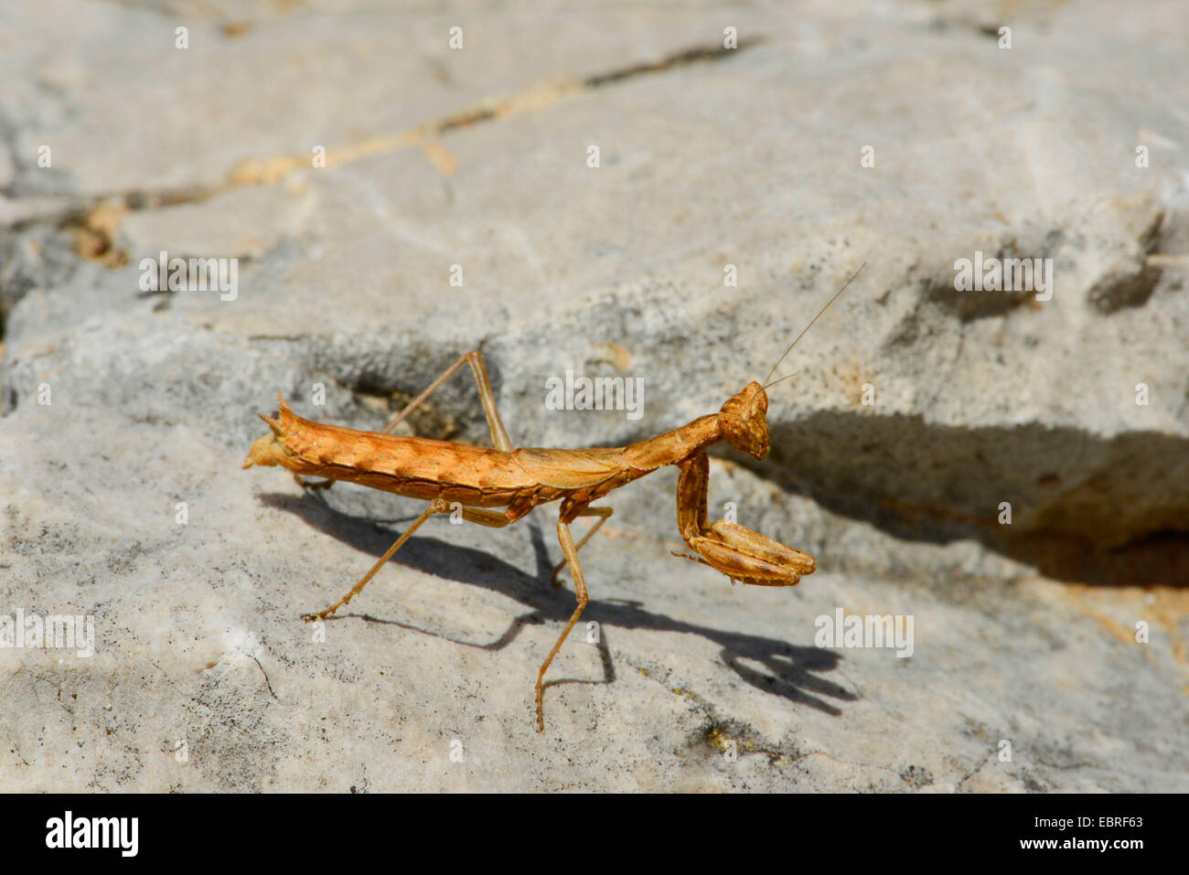 Gottesanbeterinnen (Mantodea, Mantoptera), lauernden Nymphe der ein betender Mantis, Lykien, Dalyan, Mugla, Türkei Stockbild