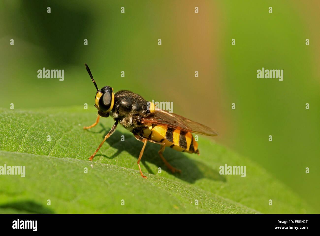 Soldat fliegt (Stratiomyidae), auf einem Blatt Stockbild