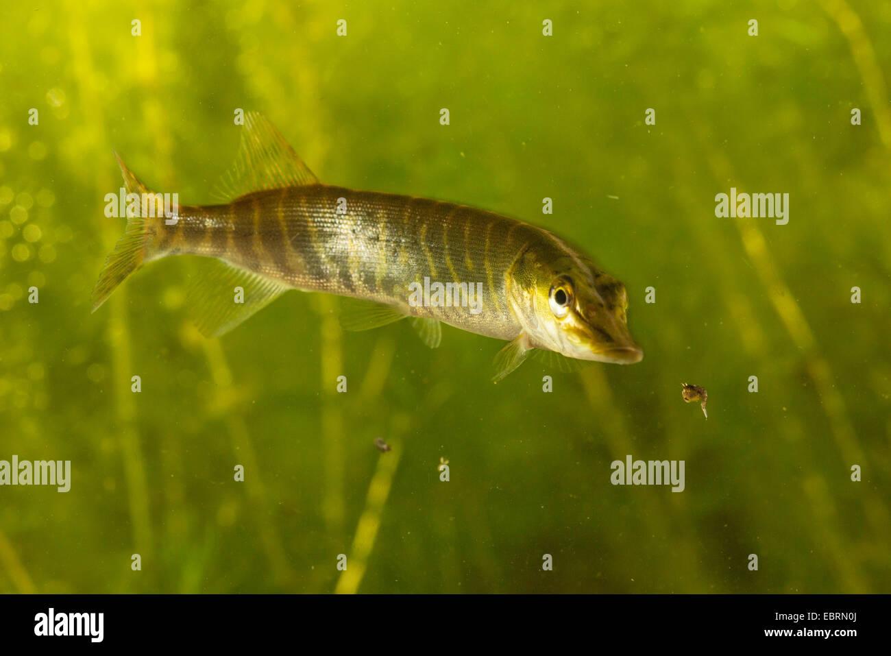 Hecht, Hecht (Esox Lucius), Jagd Mückenlarven, Deutschland Stockbild