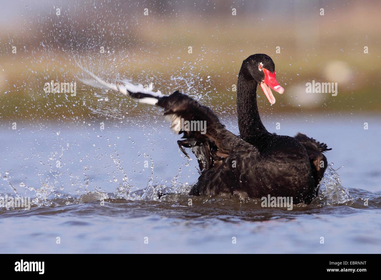 germany the black swan stockfotos germany the black swan bilder seite 2 alamy. Black Bedroom Furniture Sets. Home Design Ideas