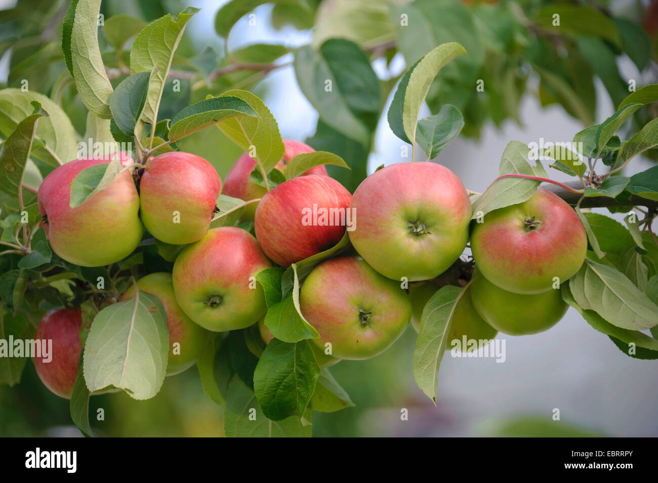 malus cultivar stockfotos malus cultivar bilder alamy. Black Bedroom Furniture Sets. Home Design Ideas