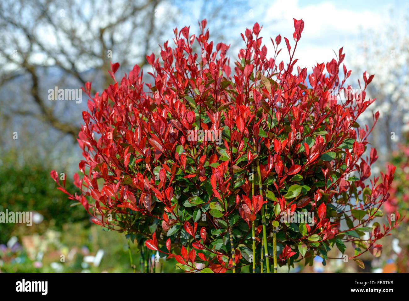 fraser photinia photinia x fraseri little red. Black Bedroom Furniture Sets. Home Design Ideas