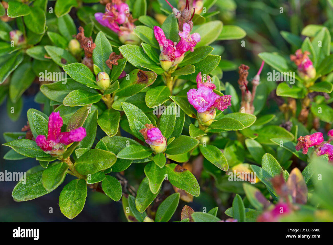 alpenrose flowers stockfotos alpenrose flowers bilder seite 2 alamy. Black Bedroom Furniture Sets. Home Design Ideas