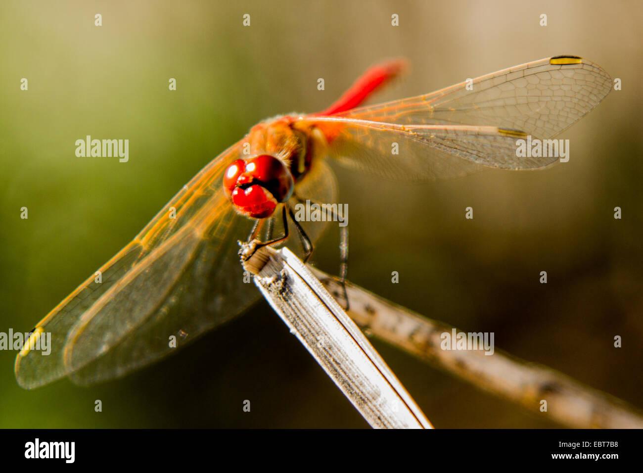Libelle detaillierte nah oben auf einen Zweig. Stockbild