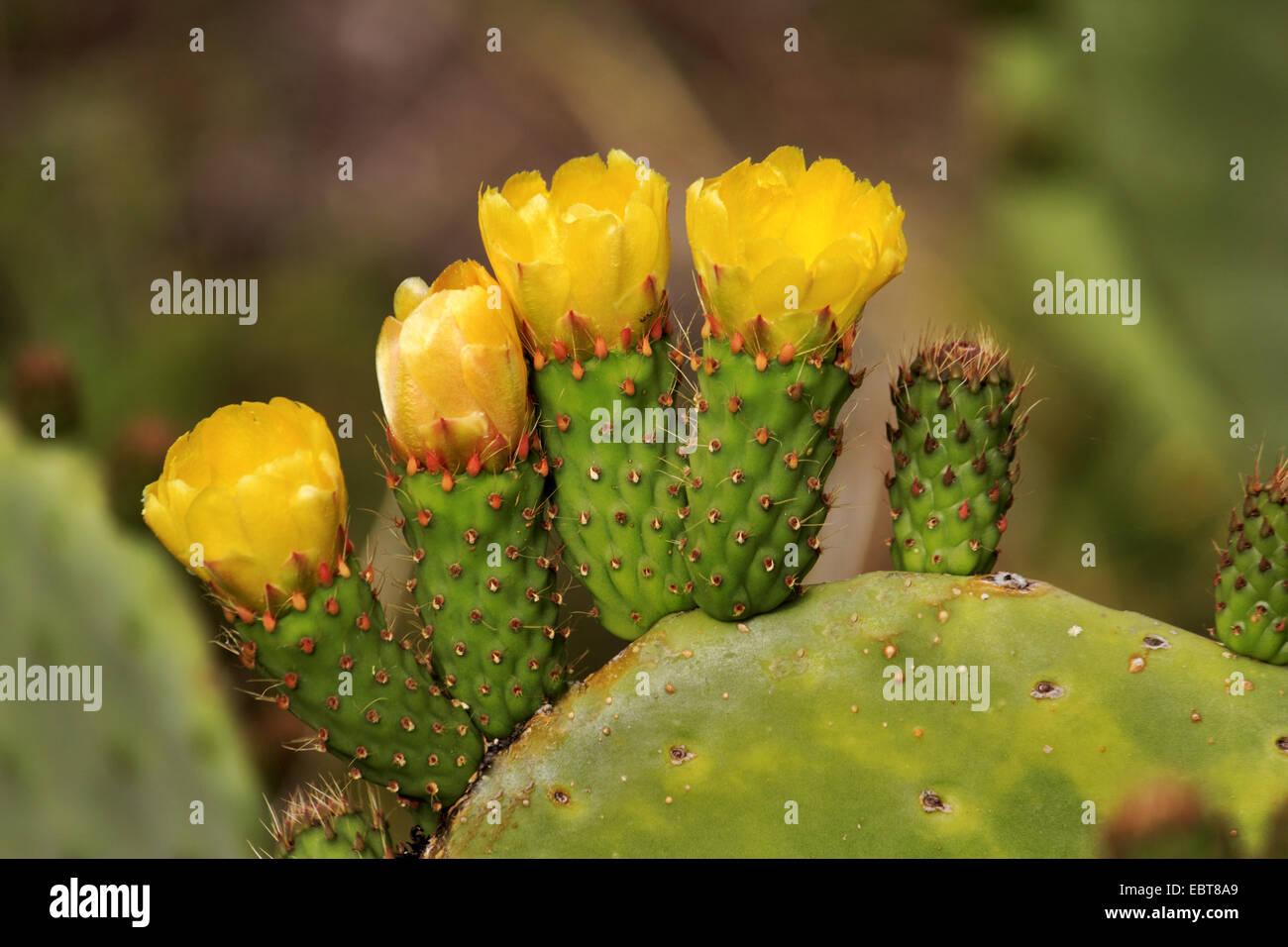 Indische Feigen, Birne Kaktus (Opuntia Ficus-Indica, Opuntia Ficus-Barbarica), mit gelben Blüten, Kanarische Inseln, La Palma Stockfoto
