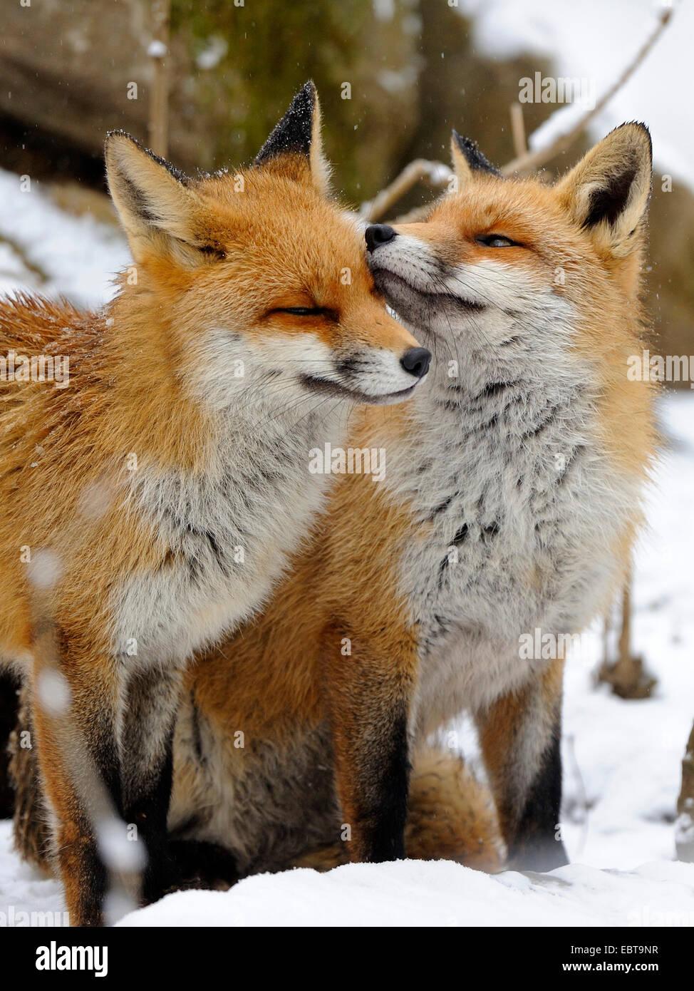 Rotfuchs (Vulpes Vulpes), zwei Füchse stehen nebeneinander im Schnee liebkosen einander, Deutschland Stockbild