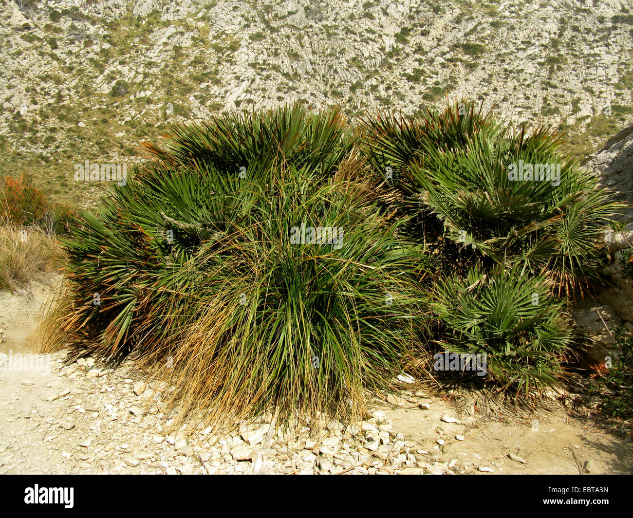 Mittelmeer Fan Farn (Chamaerops Humilis), in der Garigue, Spanien, Balearen, Mallorca Stockbild