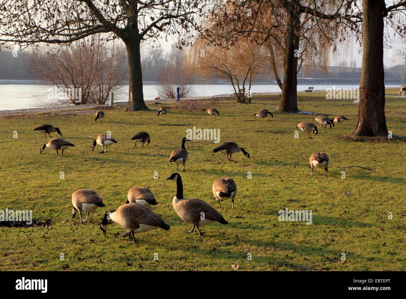 Kanadagans (Branta Canadensis), mehrere Vögel am Rheinufer, Deutschland Stockbild