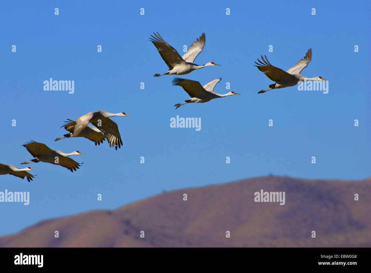 Sandhill Kran (Grus Canadensis), Sandhill Kräne, Flug, USA, New Mexico, Bosque del Apache Wildlife Refuge Stockbild