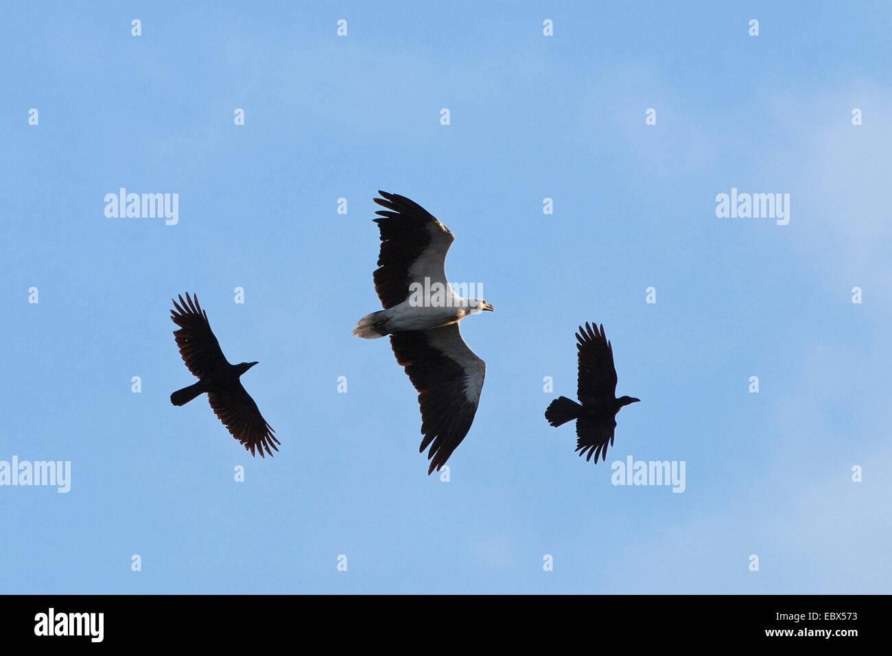 Dschungel Krähe (Corvus Macrorhynchos), Dschungel Krähen angreifen White-bellied Sea-Eagle, Haliaeetus Stockbild