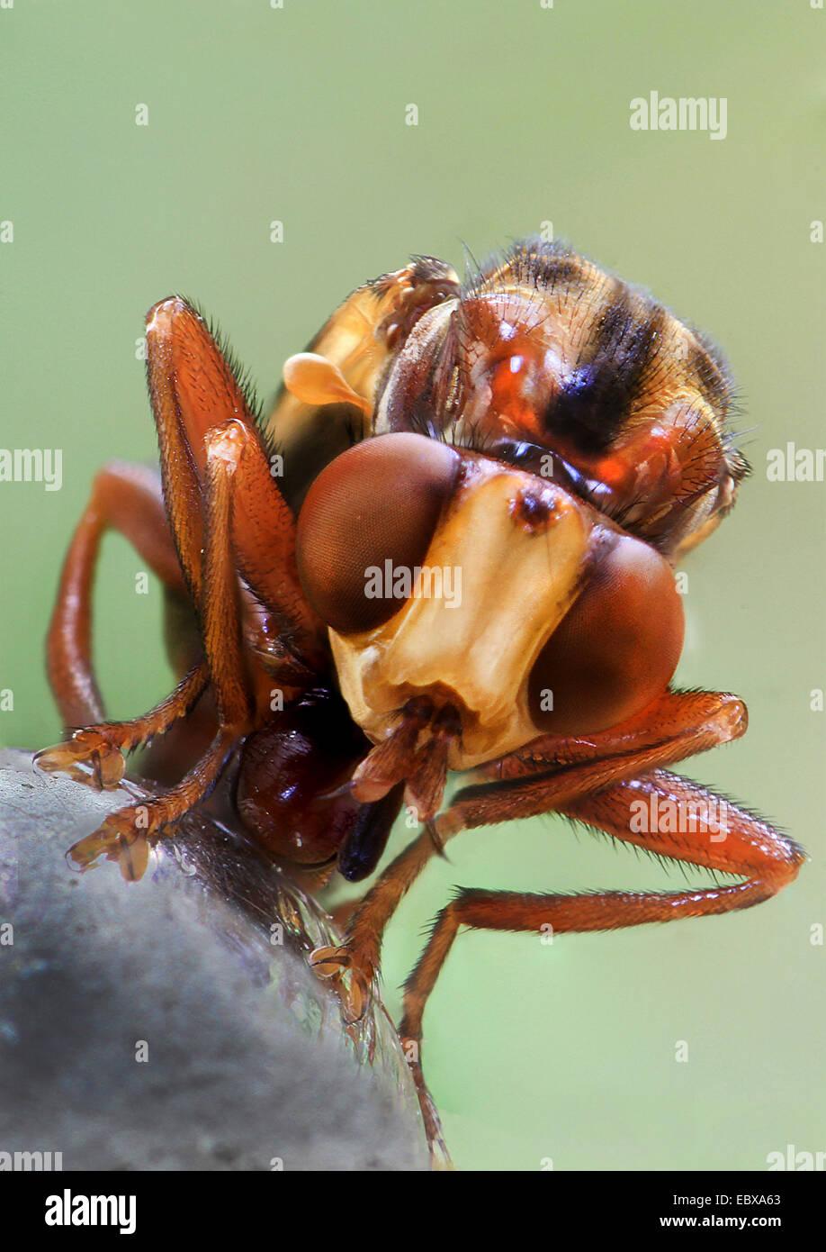 unter der Leitung von dicken fliegen (Conopidae), Porträt, Deutschland Stockbild