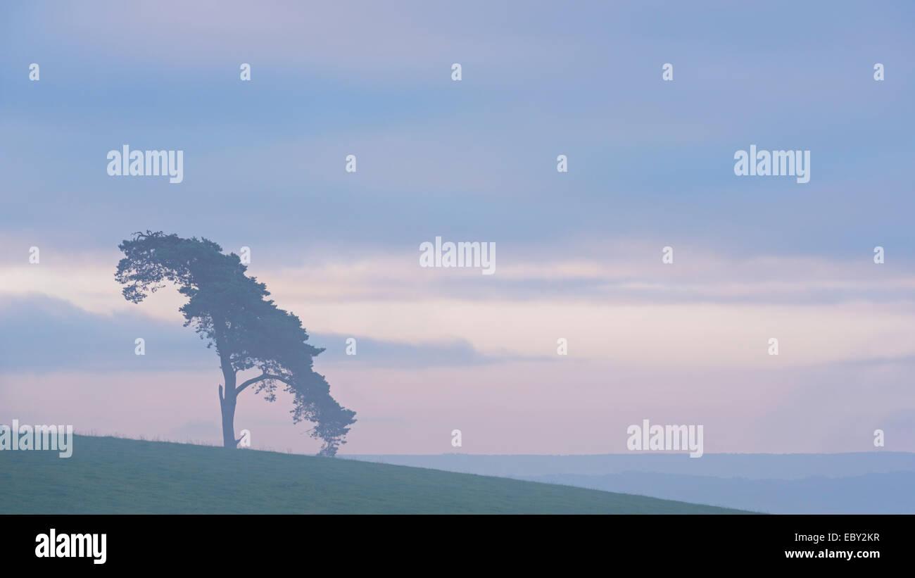 Einsame Kiefer auf einem ländlichen Hügel in der Morgendämmerung, Devon, England. (Juli) im Sommer Stockbild