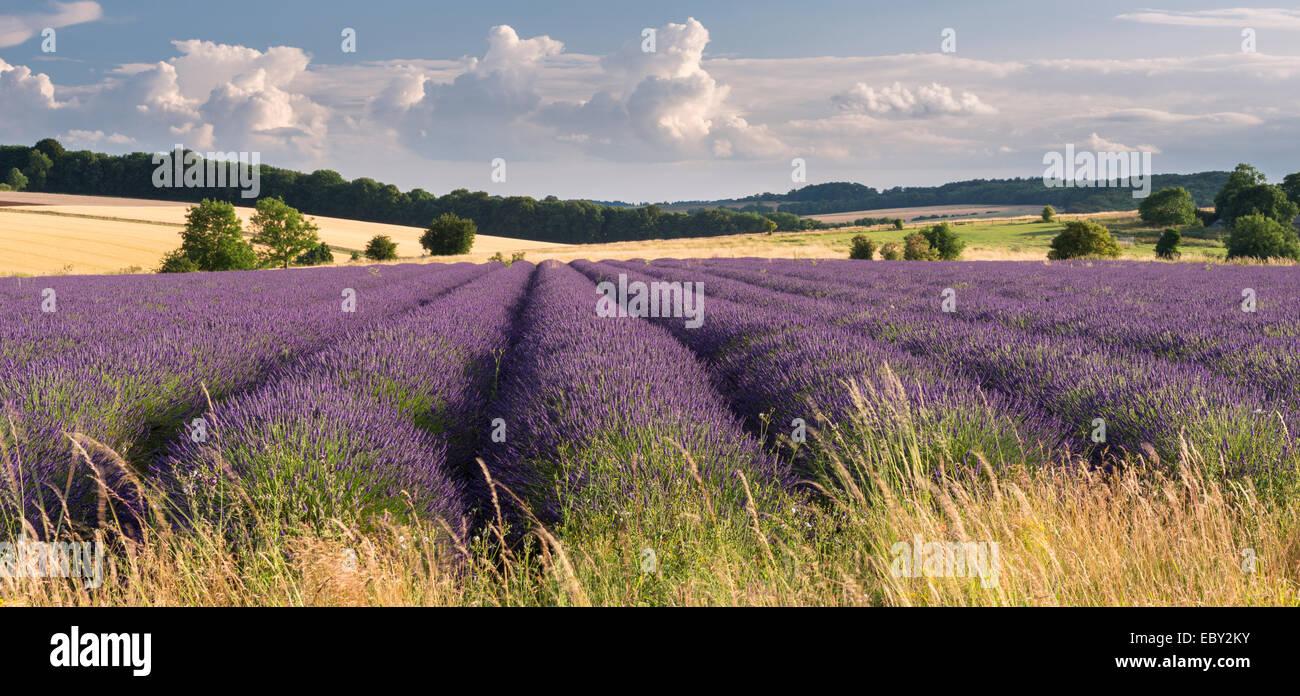 Lavendel-Feld in Blume, Snowshill, Cotswolds, England. (Juli) im Sommer 2014. Stockbild