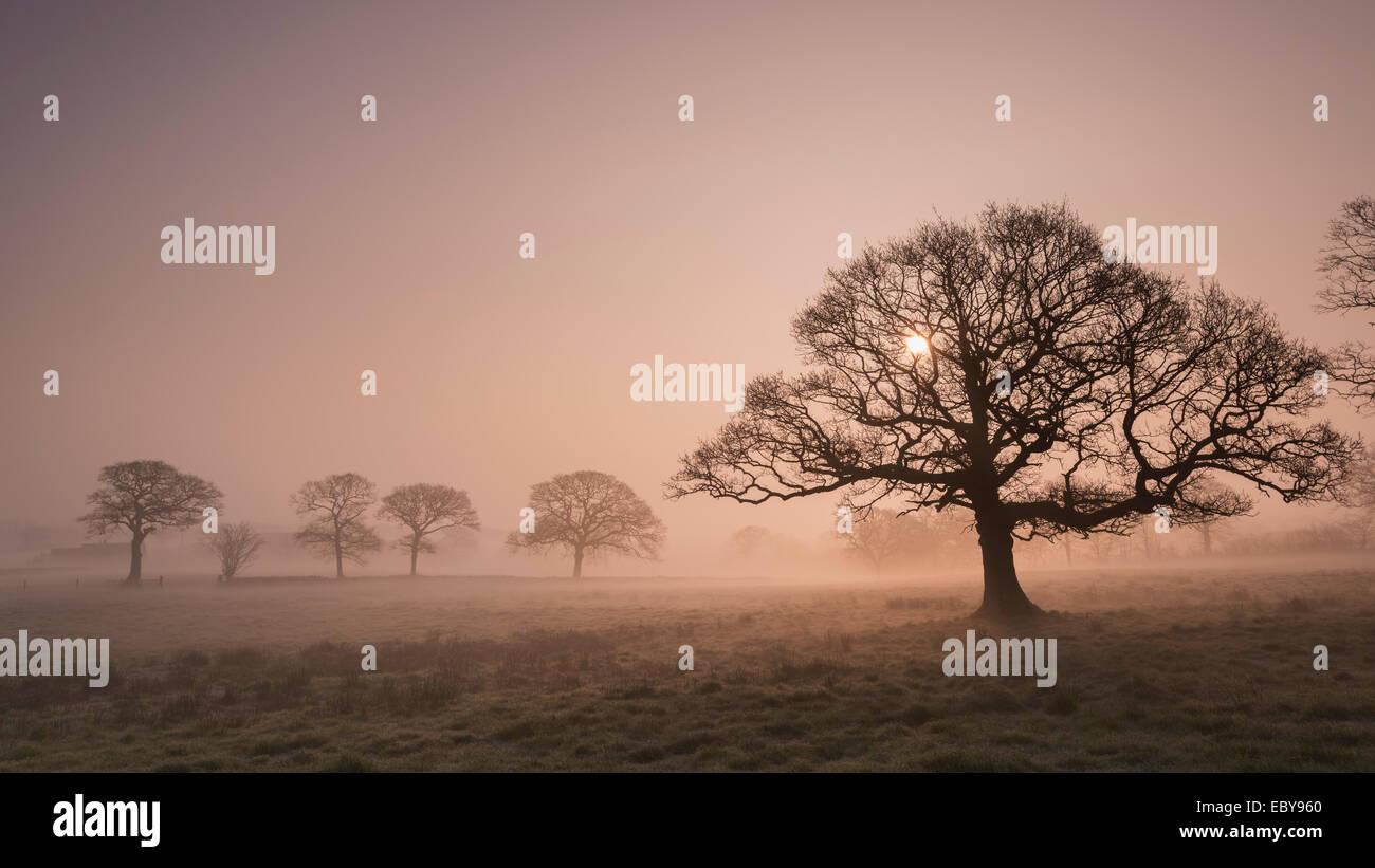 Bäume im Nebel bei Sonnenaufgang, Devon, England. Winter (März) 2014. Stockbild