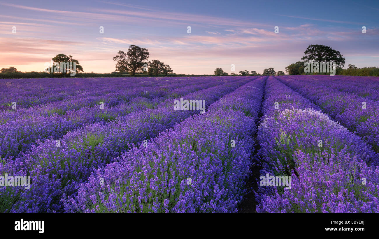 Lavendel-Feld in der Morgendämmerung, Somerset, England. (Juli) im Sommer 2014. Stockbild