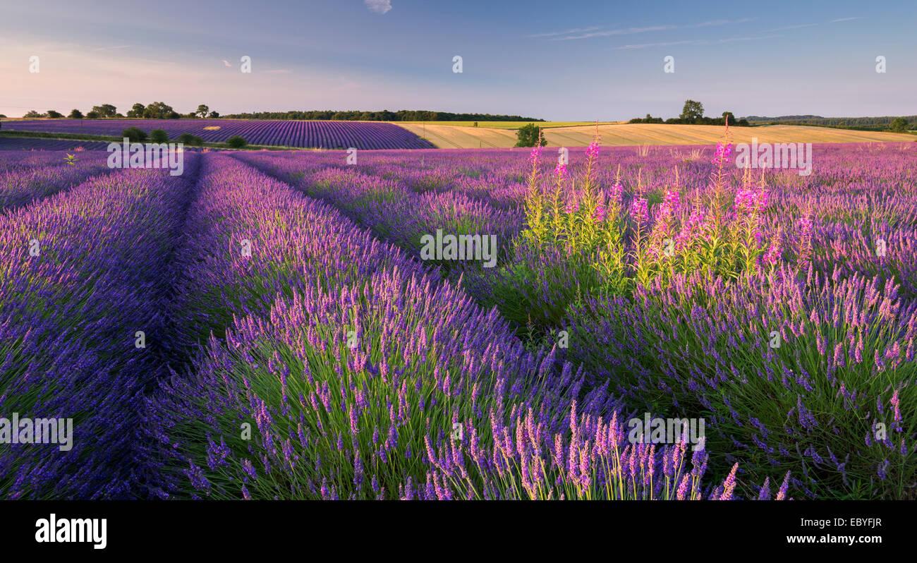 Rosebay Weidenröschen (Chamerion Angustifolium) Blüte in einem Feld von Lavendel, Snowshill, Cotswolds, Stockbild
