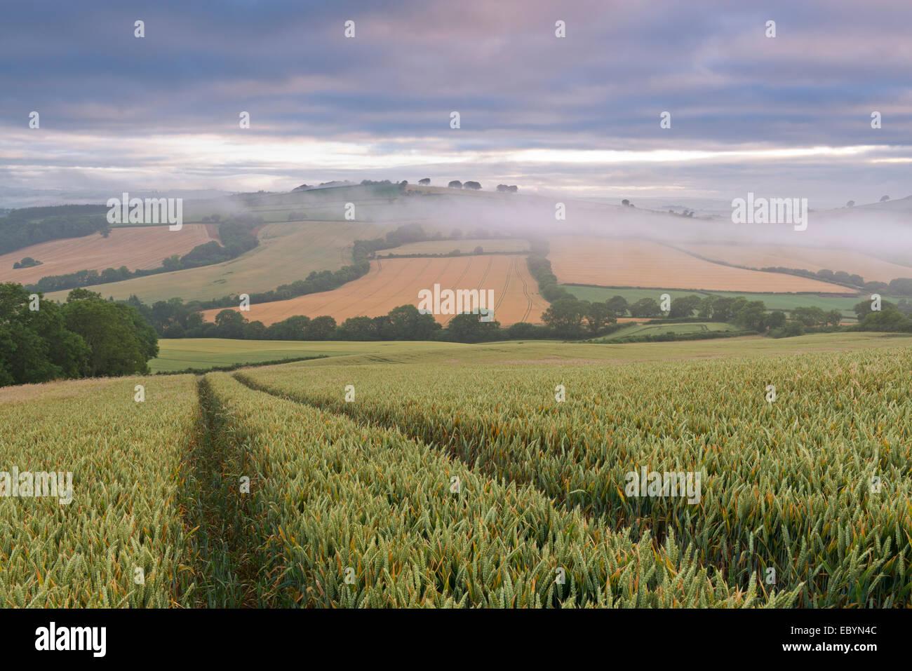 Weizenfeld und hügelige Landschaft im Morgengrauen, Devon, England. (Juli) im Sommer 2014. Stockbild