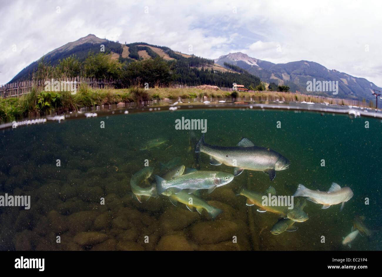 Halb-halb Schuss, See Grüblsee mit Schwarm, Bachsaibling (Namaycush Fontinalis) und Regenbogenforellen (Oncorhynchus Stockbild