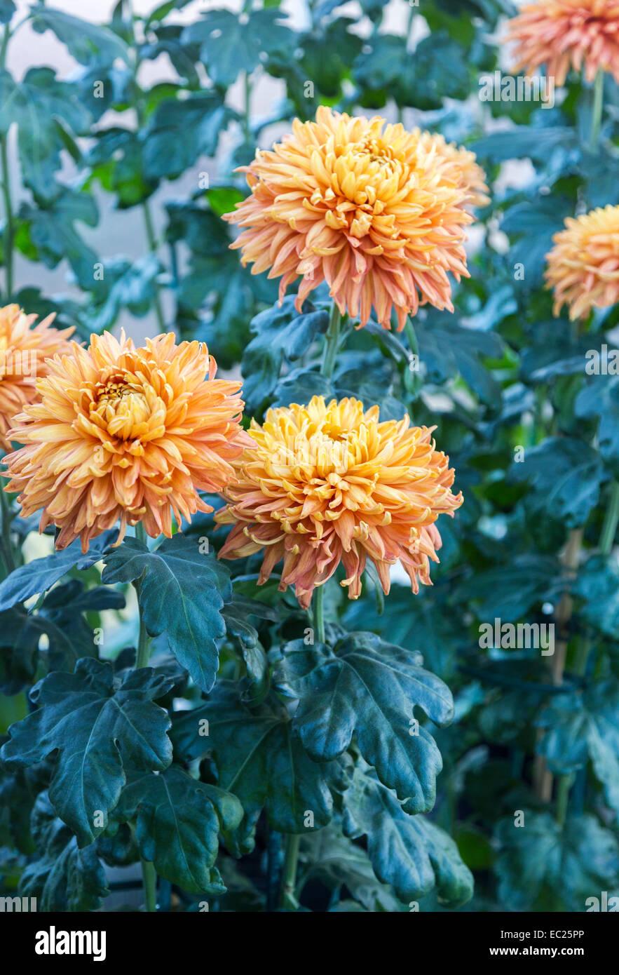 Orange Blüten der späten Winter blühende zurückgebogen Chrysantheme' Bronze mayford Perfektion' Stockbild