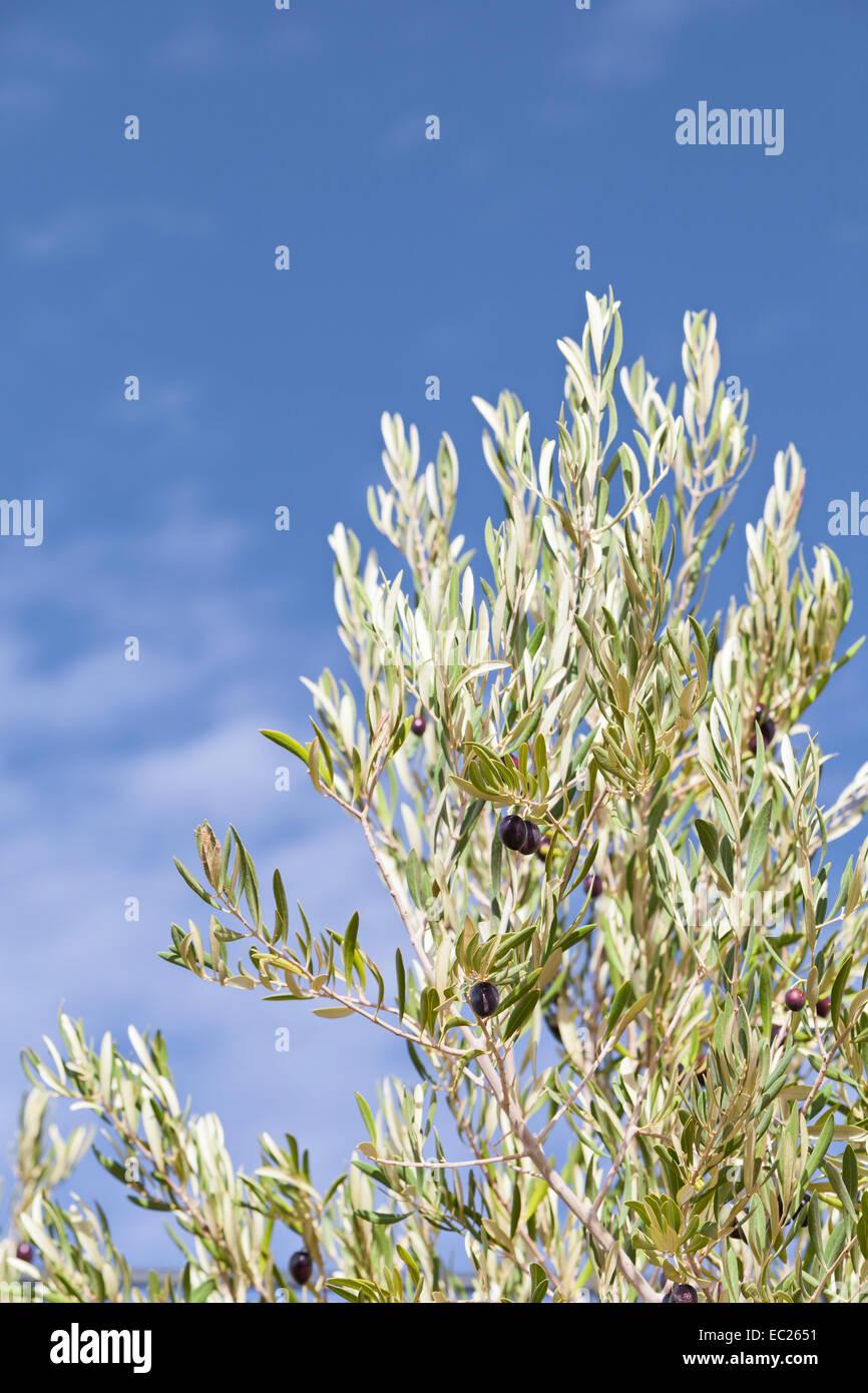 Reifen schwarzen Oliven auf einen Olivenzweig in Marokko Stockbild