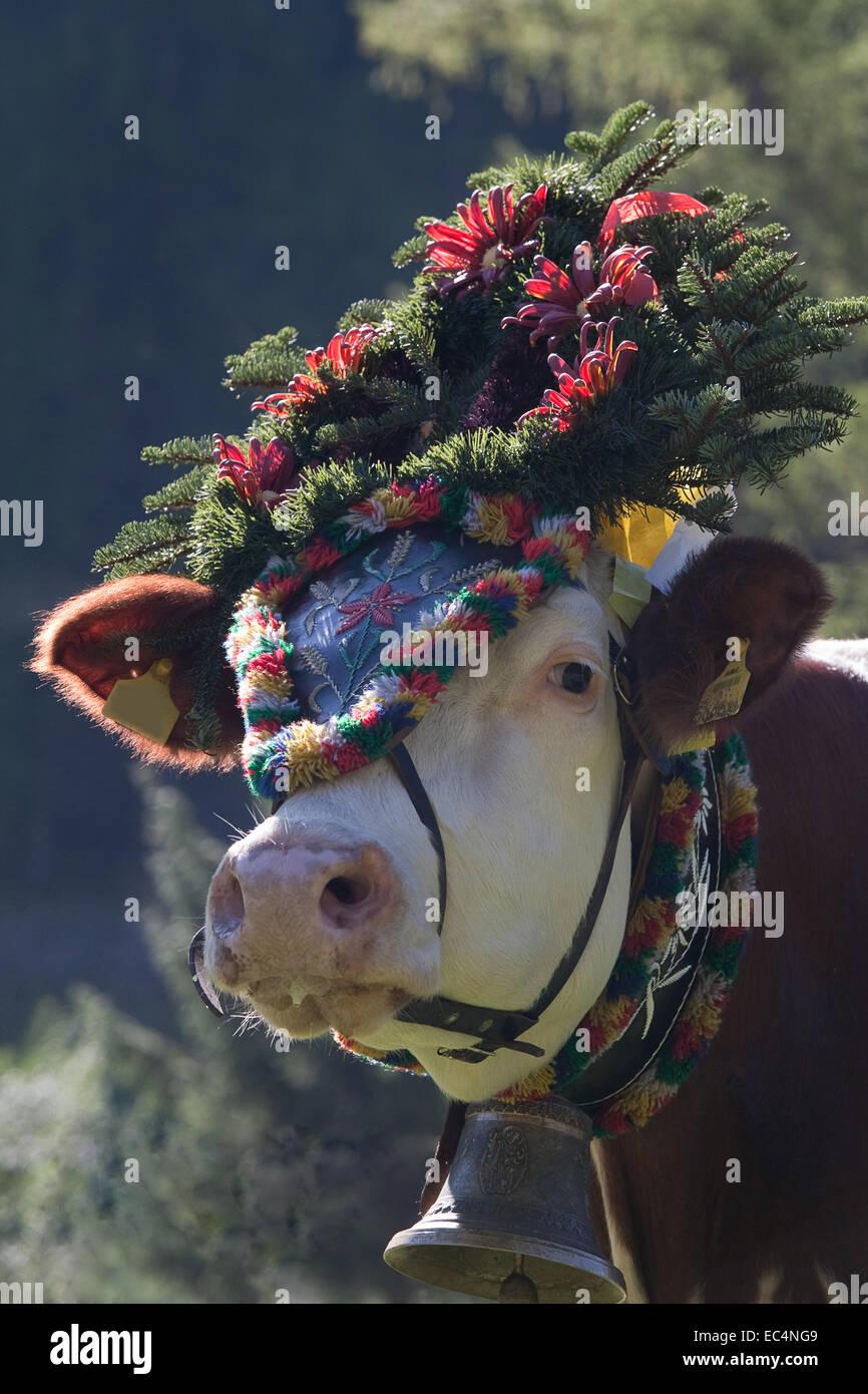 Ausgabe von Kühen Stockbild