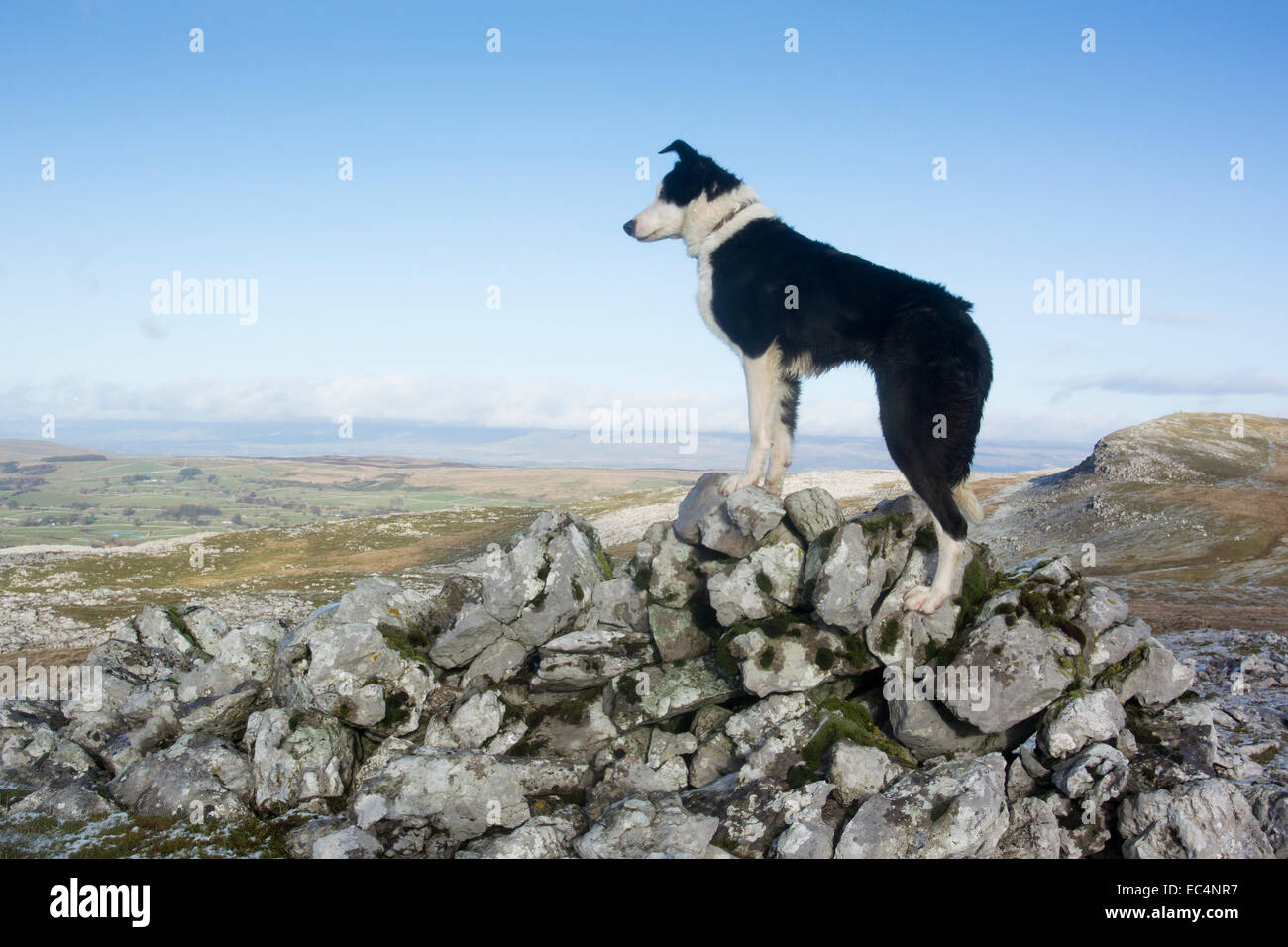 Border Collie Schäferhund auf felsigen Moor, Cumbria, UK Stockbild