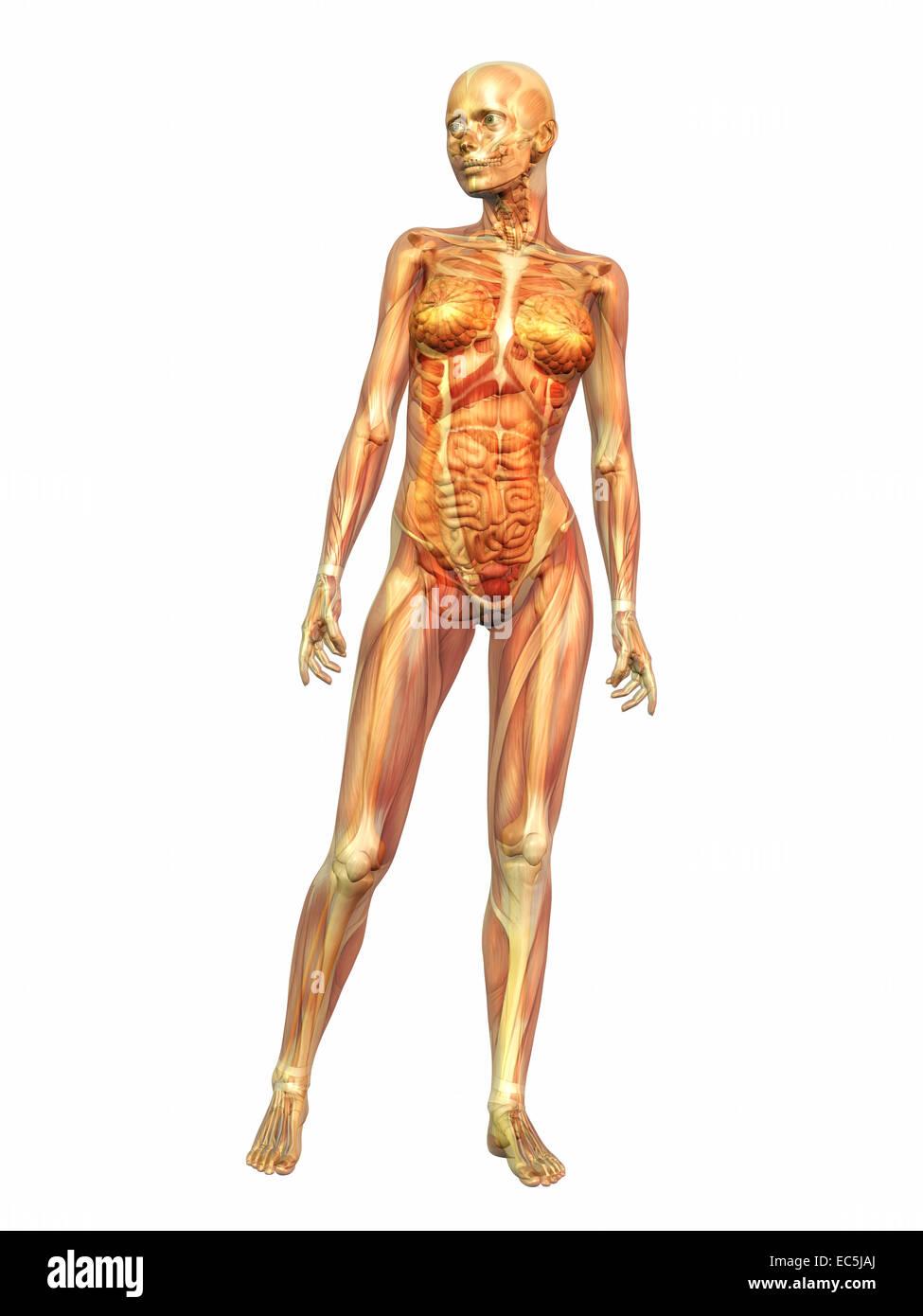 Woman Skeleton Muscles Stockfotos & Woman Skeleton Muscles Bilder ...