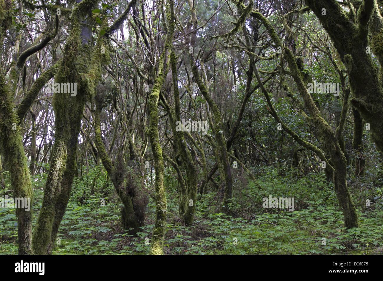 Wald von La Gomera in den Parque Nacional de Garajonay Lorbeer, bevor die verheerenden im Juli und August 2012 Waldbrände Stockbild