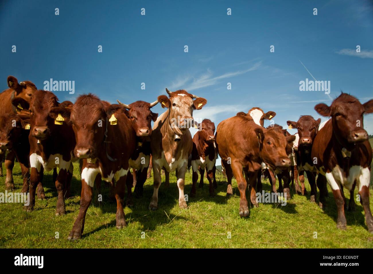 Kühe kommen näher Frontshot Kuhhirt, niedrigen Winkel, beeindruckenden Stockbild