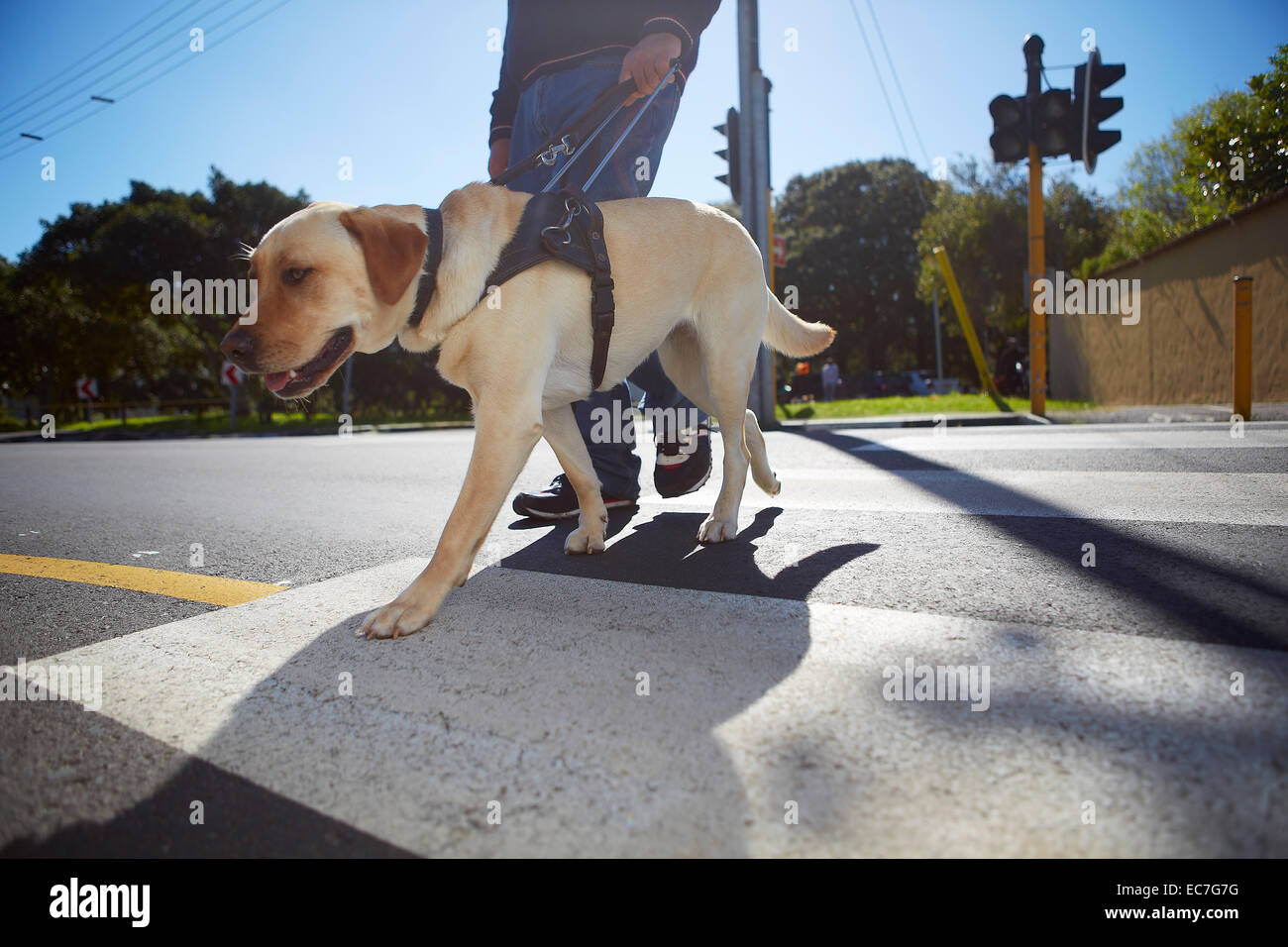 Blinden und sehbehinderten Menschen überqueren einer Straße mit seinem Blindenhund Stockbild