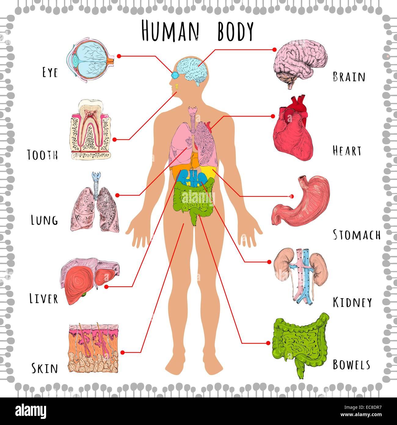 Tolle Anatomie Organe Menschlichen Körpers Ideen - Menschliche ...