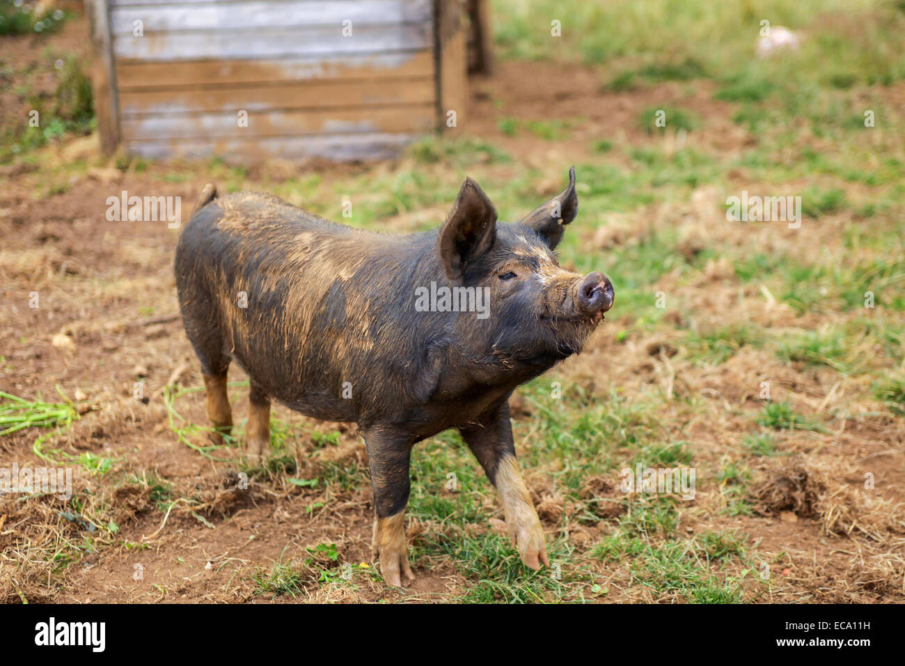 Fantastisch Schwein Drahtzaun Design Ideen - Schaltplan Serie ...