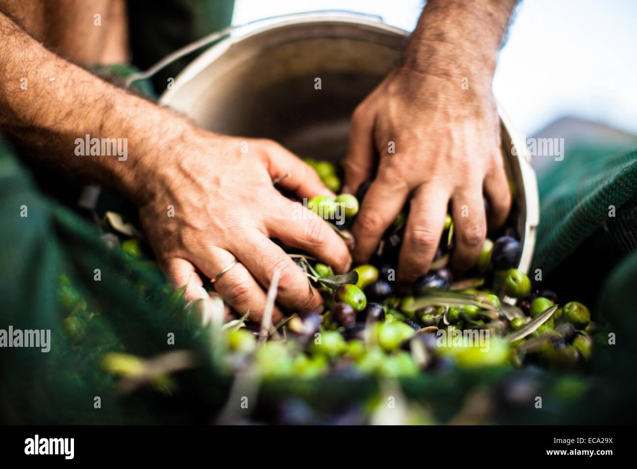 Mann schob Oliven in Eimer Stockbild