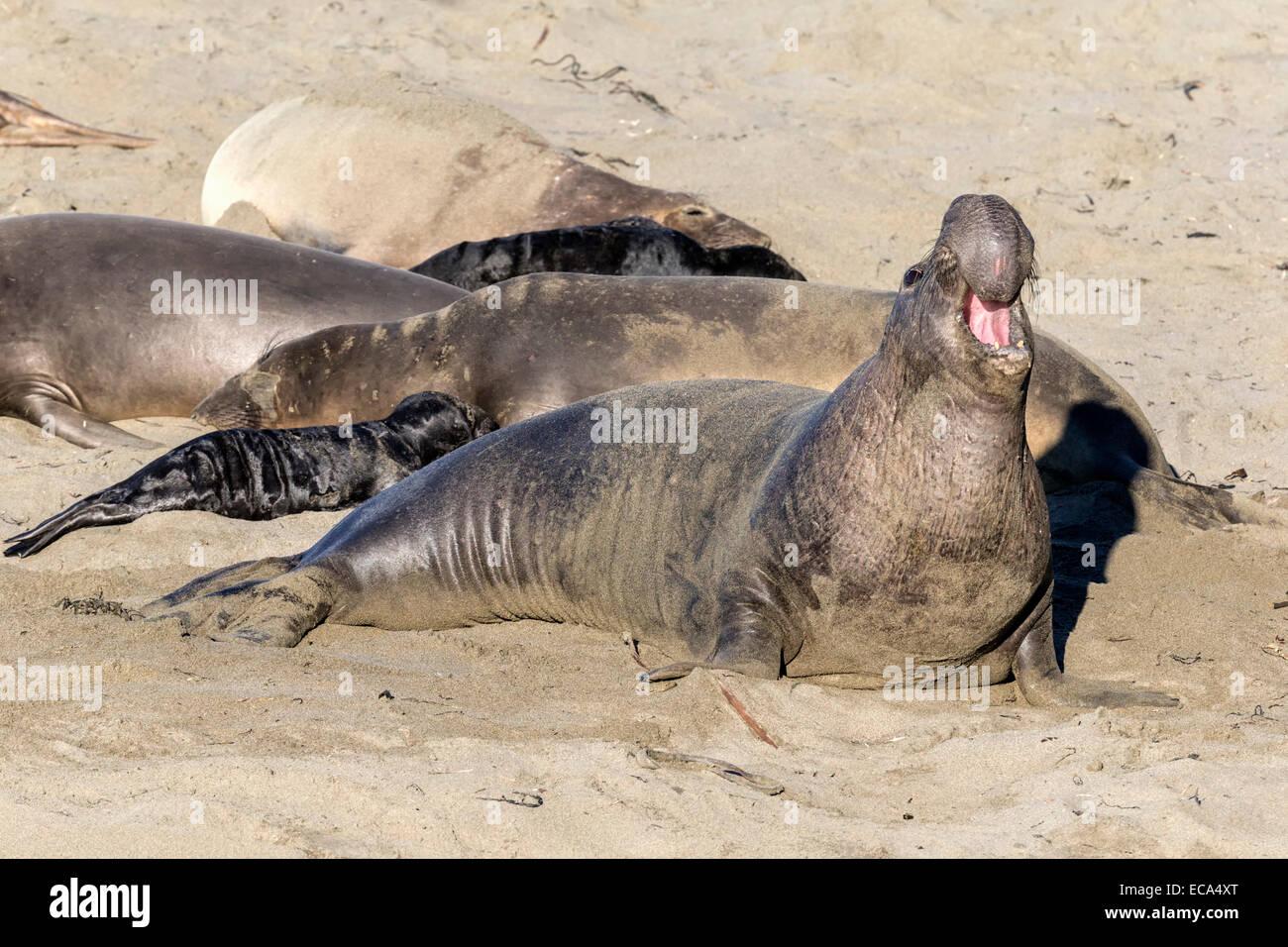 Nördlichen See-Elefanten alpha-Männchen, brüllen Stockbild